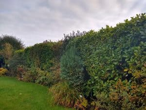 Roadside Hedge - 40m with Laurel, Elm, Holly and Lilac