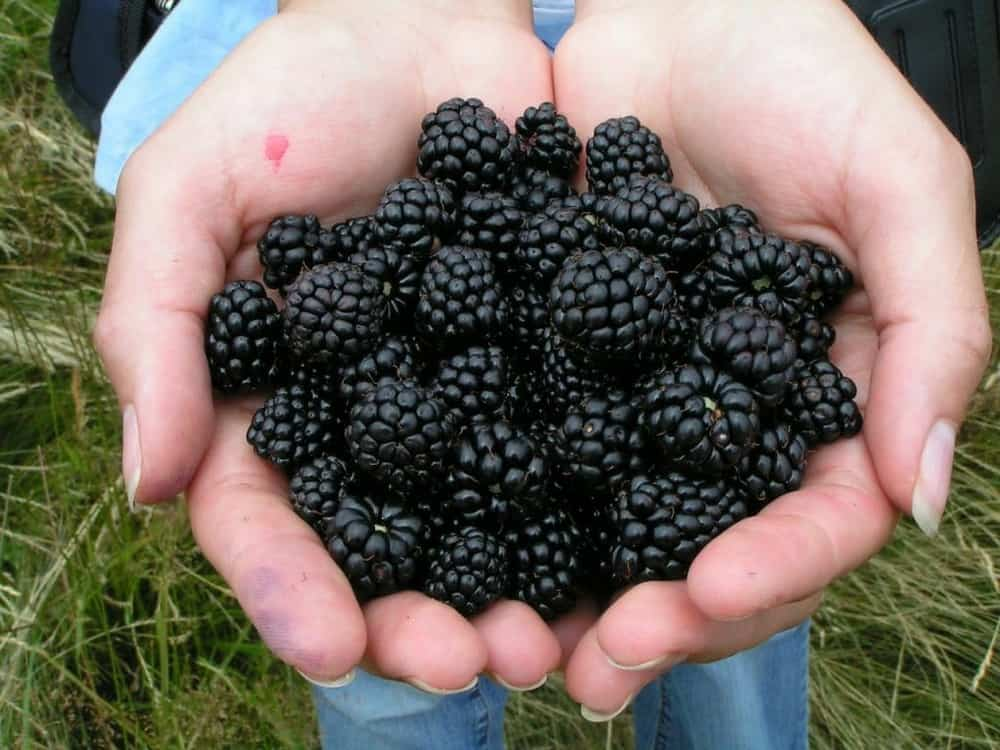 Garden Shredder Tips.  You might love the Beautiful Black Berries but the brambles don't belong in the garden