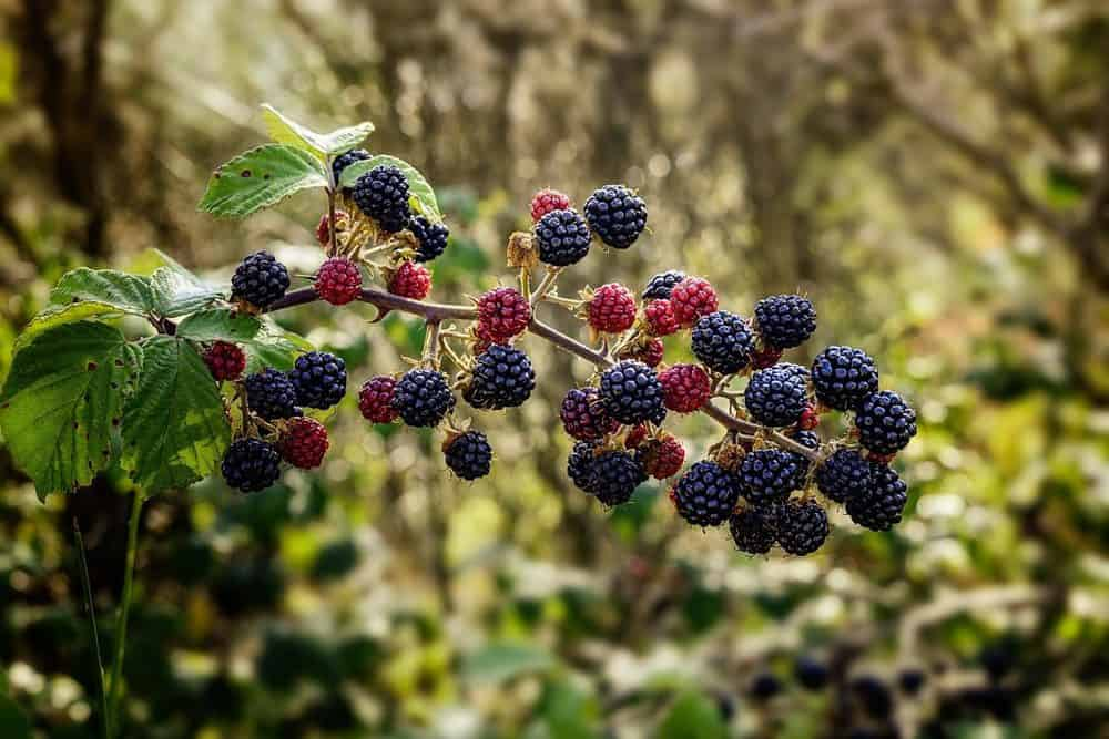 Brambles with balck berries